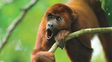 Ilmuwan: Makin Keras Suara Monyet, Makin Kecil Buah Zakarnya