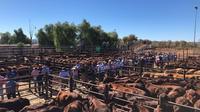 Suasana pengelolaan ternak dengan menempatkan kesejahteraan ternak sebagai hal utama agar produktivitas tinggi di Australia. (foto : Liputan6.com / aviola putri / edhie prayitno ige)