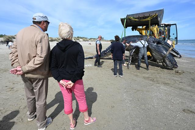 Pengunjung melihat proses evakuasi seekor paus bungkuk setelah terdampar di pantai Carnon dekat La Grande-Motte, Prancis selatan, Rabu (27/5/2021). Paus bungkuk biasanya tidak ditemukan di Laut Mediterania di mana paus sirip lebih umum. (Pascal GUYOT/AFP)