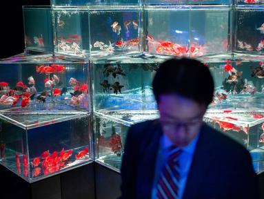 Seorang pria melihat ikan mas selama pratinjau pers dari pameran EDO Nihonbashi Art Aquarium 2018 di Tokyo, Jepang (5/7). Pameran tahunan di Tokyo ini akan dibuka untuk umum mulai 6 Juli hingga 24 September 2018. (AFP Photo/Martin Bureau)