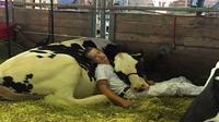 anak berusia 15 tahun terlihat tertidur dengan seekor sapi usai pertunjukan pentas sapi perah
