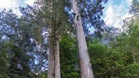 Pohon Taiwan Shan
