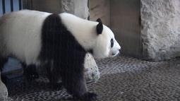 Panda betina Meng Meng berjalan dalam kandangnya di kebun binatang Zoologischer Garten, Berlin pada Rabu (14/8/2019). Meng Meng kini terlihat memiliki perut membuncit, bertambah berat badannya, terkesan lemah, dan mengalami perubahan hormon. (Tobias SCHWARZ / AFP)