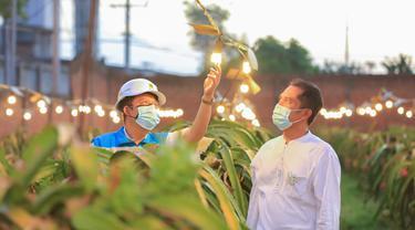 Berkat Electrifying Agriculture PLN, Omzet Petani Buah Naga Naik Hingga 3 Kali Lipat