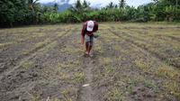 Seorang petani di Desa Potoya, Sigi sedang menanam bibit jagung sebagai pengganti padi sawah yang tidak bisa digarap karena krisis air, Minggu (29/11/2020). (Foto:Liputan6.com/ Heri Susanto).