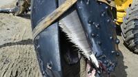 Alat berat mengevakuasi seekor paus bungkuk yang terdampar di pantai Carnon dekat La Grande-Motte, Prancis selatan, Rabu (27/5/2021). Paus bungkuk sepanjang tujuh meter (23 kaki) itu dievakuasi dari pantai dan harus menjalani autopsi untuk menentukan penyebab kematian. (Pascal GUYOT/AFP)