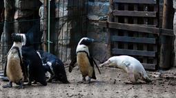 Seekor penguin albino diperlihatkan kepada publik untuk pertama kalinya di kebun binatang Gdansk, Polandia, 22 Maret 2019. Menurut petugas kebun binatang, penguin berusia tiga bulan tersebut merupakan satu-satunya albino. (Agencja Gazeta/Michal Ryniak via REUTERS)