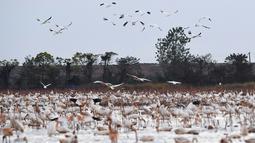 Kawanan burung migran mencari makan di lahan basah kawasan konservasi burung jenjang putih Wuxing di tepi Danau Poyang Provinsi Jiangxi, China pada 18 November. Sejumlah burung migran telah tiba di tepi Danau Poyang, menjadikan kawasan itu sebagai habitat musim dingin mereka. (Xinhua/Wan Xiang)