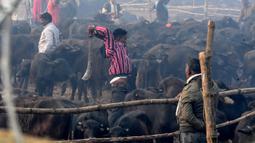 Seorang umat Hindu mengayunkan parang saat ingin memenggal seekor kerbau dalam Festival Gadhimai di Bariyarpur, 160 km dari Kathmandu, Nepal (3/12/2019). (AFP/Prakash Mathema)