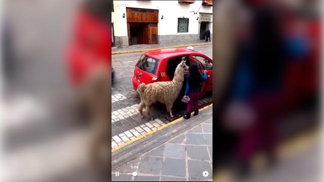 Di negara Peru, taksi memperbolehkan hewan untuk naik. Termasuk hewan alpaca berikut ini.