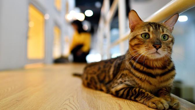 Seekor kucing Bengal bernama Tuah duduk di lantai luar kamar hotel CatZonia di Shah Alam, Kuala Lumpur, Malaysia, 6 Agustus 2018. Hewan yang datang ke hotel ini bisa tinggal selama tiga jam atau sampai satu tahun. (AFP/Manan VATSYAYANA)#source%3Dgooglier%2Ecom#https%3A%2F%2Fgooglier%2Ecom%2Fpage%2F%2F10000