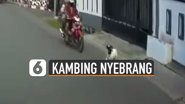 Ada-ada saja tingkah hewan kambing yang satu ini. Mendadak nyabrang hingga hampir membuat pemotor masuk got.