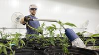 Pekerja menyiram tanaman ganja medis di Tweed INC., Smith Falls, Ontario, Kanada (5/12). Tweed INC. merupakan salah satu lokasi budi daya ganja medis terbesar di Kanada. (AFP Photo/Lars Hagberg)