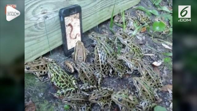 Belasan katak coba memakan sebuah ponsel lantaran memutar video cacing yang merupakan makanan kesukaan sang katak.