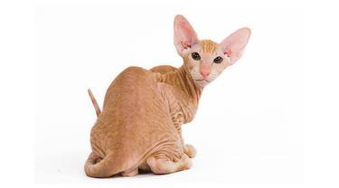 Bagi penghobi kucing, 6 jenis kucing ini dapat dimasukkan dalam daftar koleksi