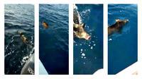 Sejumlah hewan darat memang memiliki kemampuan berenang di air, tapi siapa sangka kalau kemampuan renangnya hingga 6 kilometer lepas pantai?