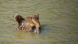 Beruang cokelat Hana menundukkan kepalanya saat mendinginkan diri di kolam air di Bear Sanctuary Pristina, Kosovo, Kamis (8/7/2021). Warga di Eropa timur yang tidak terbiasa dengan suhu tinggi sedang berjuang untuk mengatasi gelombang panas yang melanda seluruh wilayah. (AP Photo/Visar Kryeziu)