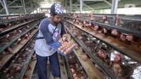 Peternak ayam petelur Madsai (41) mengambil telur yang siap dikirim ke pasar di Desa Pengasinan, Gunung Sindur, Kabupaten Bogor, Jawa Barat, Selasa (6/10/2020). Harga telur eceran sempat mencapai Rp 24 ribu per kilogram, sekarang turun Rp 18,500 per kilogram. (merdeka.com/Dwi Narwoko)