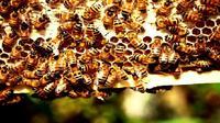 Produk dari beternak lebah seperti madu dan royal jelly dihasilkan