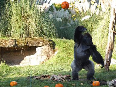 Seekor gorila melempar labu ke udara saat pemotretan merayakan Hari Halloween di Kebun Binatang London, Inggris, Kamis (25/10). (Yui Mok/PA via AP)