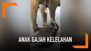 Sebuah video memperlihatkan seekor anak gajah yang dirantai pada induknya terjatuh. Diduga ia kelelahan karena menemani sang induk berjalan membawa wisatawan di Thailand.