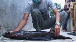 Seorang warga memperlihatkan ikan lele hasil budidaya di Tangerang, Jumat (6/11/2020). Pemerintah setempat bersama warga memanfaatkan lahan untuk bubidaya ikan lele guna menggerakan ekonomi masyarakat di masa pandemi COVID-19. (Liputan6.com/Angga Yuniar)
