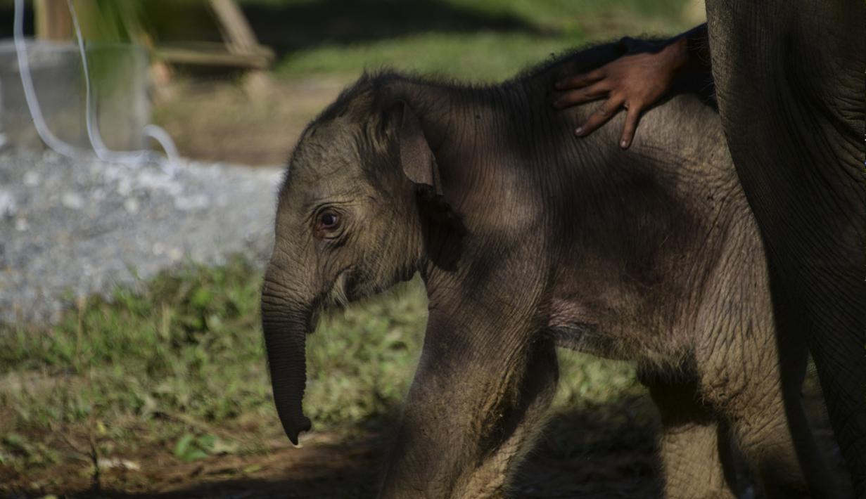 FOTO Potret Lucu Bayi Gajah Sumatera Yang Lahir Di Aceh