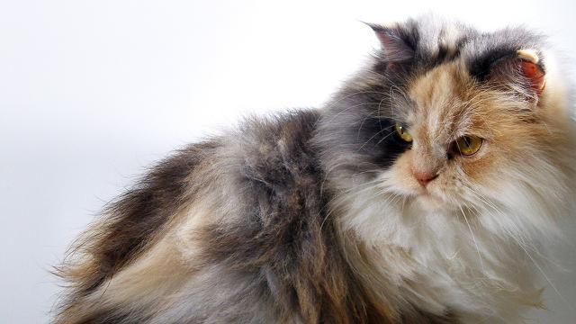 Download 100+  Gambar Memandikan Kucing Persia Lucu