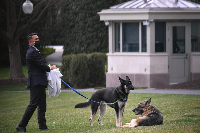 Champ (kanan) dan Major, anjing milik Presiden Joe Biden terlihat di South Lawn Gedung Putih di Washington, Rabu (31/3/2021). Major kembali menggigit seseorang di Gedung Putih, beberapa hari setelah kembali dari pelatihan di Delaware menyusul insiden serupa awal bulan ini. (Mandel Ngan/Pool via AP)