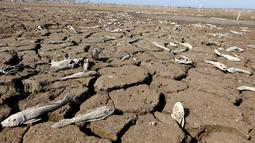 Sejumlah ikan mati akibat kekeringan yang melanda sungai Pilcomayo, Boqueron, perbatasan Paraguay dan Argentina, (3/7). Daerah ini sedang menghadapi musim kekeringan terburuk dalam dua dekade terakhir. (REUTERS / Jorge Adorno)