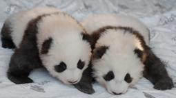 """Dua anak panda """"Meng Yuan"""" (kiri) dan """"Meng Xiang"""" diperlihatkan kepada media setelah mereka diberi nama di kebun binatang Zoologischer Garten di Berlin (9/12/2019). Dengan pinjaman dari Tiongkok, Meng Meng dan Panda jantan Jiao Qing tiba di Berlin pada Juni 2017. (AFP/Odd Andersen)"""
