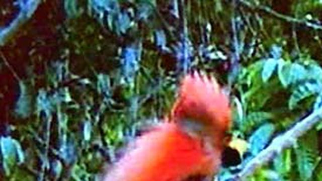 93+ Gambar Binatang Burung Cendrawasih Terbaru