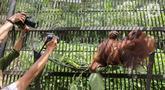 Induk orangutan, Eva memeluk bayi bernama Fitri di Taman Safari Indonesia Cisarua, Bogor, Jawa Barat, Rabu (27/5/2020). Fitri, bayi Orangutan Kalimantan berjenis bertina lahir pada hari Senin (25/5) pukul 05.00 WIB dalam suasana Hari Raya Idul Fitri 1441 H. (Liputan6.com/Fery Pradolo)