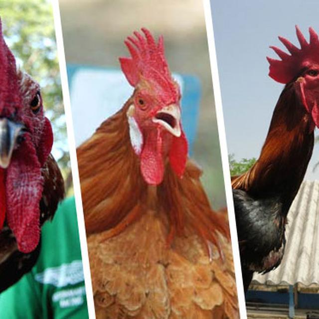 Foto Ayam Siam Yg Bagus 4 Ayam Termahal Asli Indonesia Harganya Rp 40 Juta Per Ekor