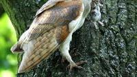 Burung Hantu dan petani di Aceh (Liputan6.com/Rino Abonita)