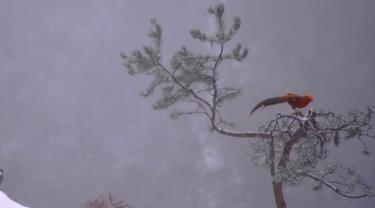 Burung phoenix merah asal China.