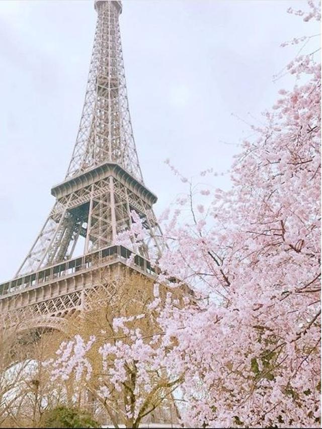 Tawarkan Keindahan Sakura Mekar