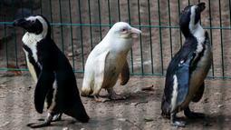 Seekor penguin albino diperlihatkan kepada publik untuk pertama kalinya di kebun binatang Gdansk, Polandia, 22 Maret 2019. Pihak kebun binatang juga belum mengetahui jenis kelamin penguin albino yang belum mempunyai nama tersebut. (Agencja Gazeta/Michal Ryniak via REUTERS)