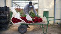 Pekerja pertanian membawa mawar yang dipilih untuk Festival Sant Jordi di Santa Susanna, dekat Barcelona, Spanyol, Selasa (20/4/2021). Perkumpulan toko bunga memperkirakan bahwa lebih dari 4 juta mawar terjual setiap tahun pada Festival Sant Jordi. (Josep LAGO/AFP)
