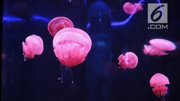 Pengunjung melihat ubur-ubur di Wahana Jellyfish Sphere di SeaWorld Ancol, Jakarta, Selasa (25/12). Sea World menjadi tempat wisata alternatif warga menghabiskan libur Natal 2018. (Liputan6.com/Faizal Fanani)