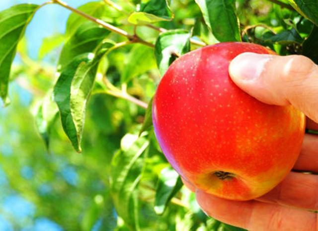 Buah apel | Photo: Copyright Thinkstockphotos.com