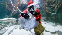 Aksi Chief fishkeeper, Timo Kaminski menyelam mengenakan kostum sinterklas untuk memberi makan ikan di akuarium Multimar Wattforum di Toenning, utara Jerman, Selasa (4/12). Aksi tersebut untuk memeriahkan perayaan Natal. (MARKUS SCHOLZ / DPA / AFP)