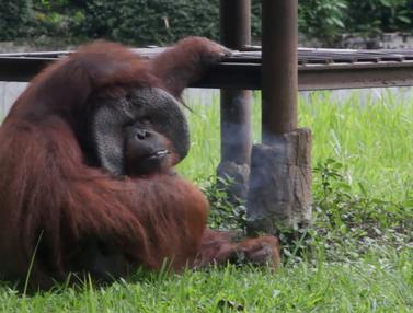 Orangutan Kebun Binatang Bandung Merokok