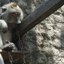 Ilustrasi foto ekor monyet panjang yang melakukan penyerangan terhadap warga di Karanggede, Boyolali, Rabu (9/8).(Liputan6.com/Fajar Abrori)