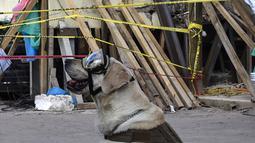 Seekor anjing penyelamat milik Angkatan Laut Meksiko, Frida saat mencari korban yang tertimbun reruntuhan bangunan pasca-gempa 7,1 Skala Ritcher (SR) yang menghantam Meksiko di sekolah Rebsamen di Mexico City (22/9). (AFP Photo/Omar Torres)