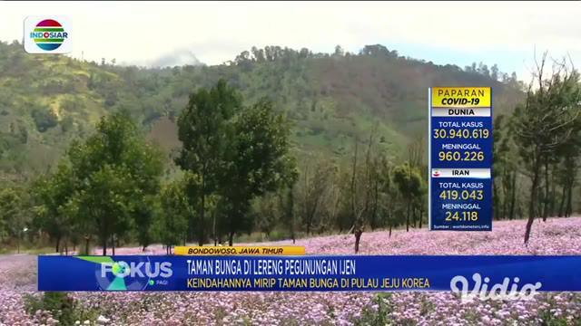 Tidak perlu jauh-jauh ke Pulau Jeju, Korea Selatan, jika ingin melihat keindahan taman bunga di lereng pegunungan. Di lereng Pegunungan Ijen, Bondowoso Jawa Timur, ada spot taman bunga yang tak kalah cantik yang sedang menyelimuti sejumlah titik.