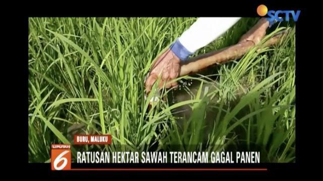 Ratusan hektar sawah di Maluku terancam gagal panen akibat kemarau panjang.