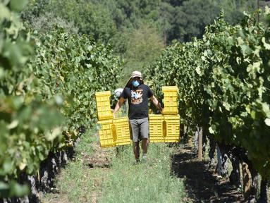 Seorang pemetik anggur yang memakai masker bekerja selama panen tahun 2020 di kebun anggur kilang anggur Godeval di O Barco de Valdeorras, Spanyol (26/8/2020). (AFP Photo/Miguel Riopa)