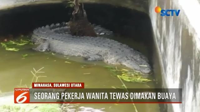 Seorang pekerja wanita di perusahaan pembibitan mutiara, di Kabupaten Minahasa, Sulawesi Utara, tewas dimakan buaya. Jasad korban ditemukan dalam kondisi mengenaskan.