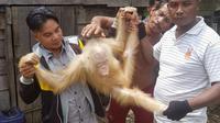 Orangutan berbulu putih dengan mata biru di Kalimantan (Istimewa)